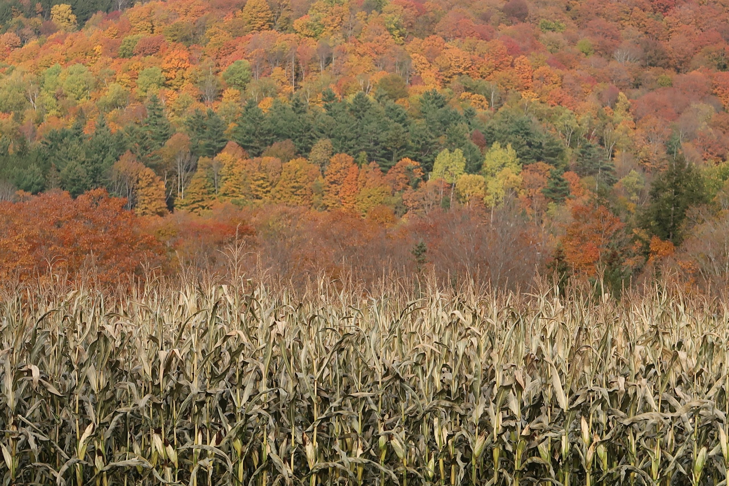 Contest Entry #9 - Corn Contrast - Field of Fall Cornstalks with colorful fall treescape behind