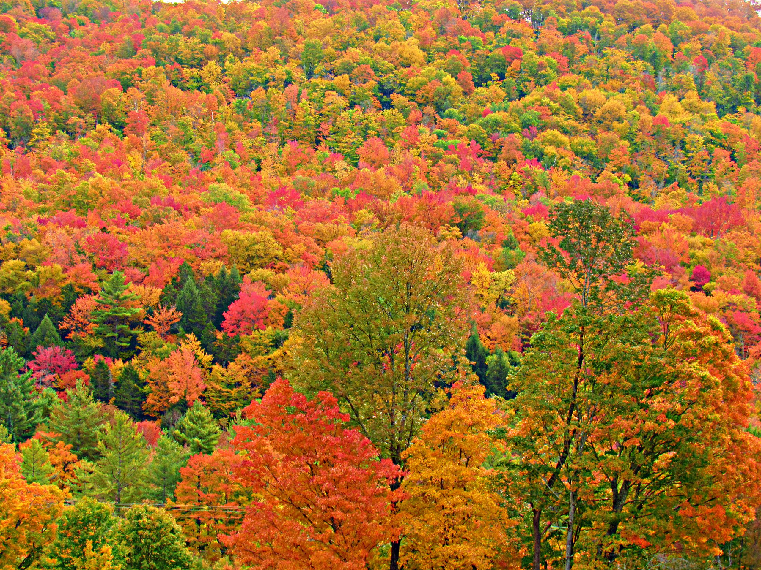 Contest Entry #18 - Untitled - Hillside of mostly hardwood trees in peak foliage