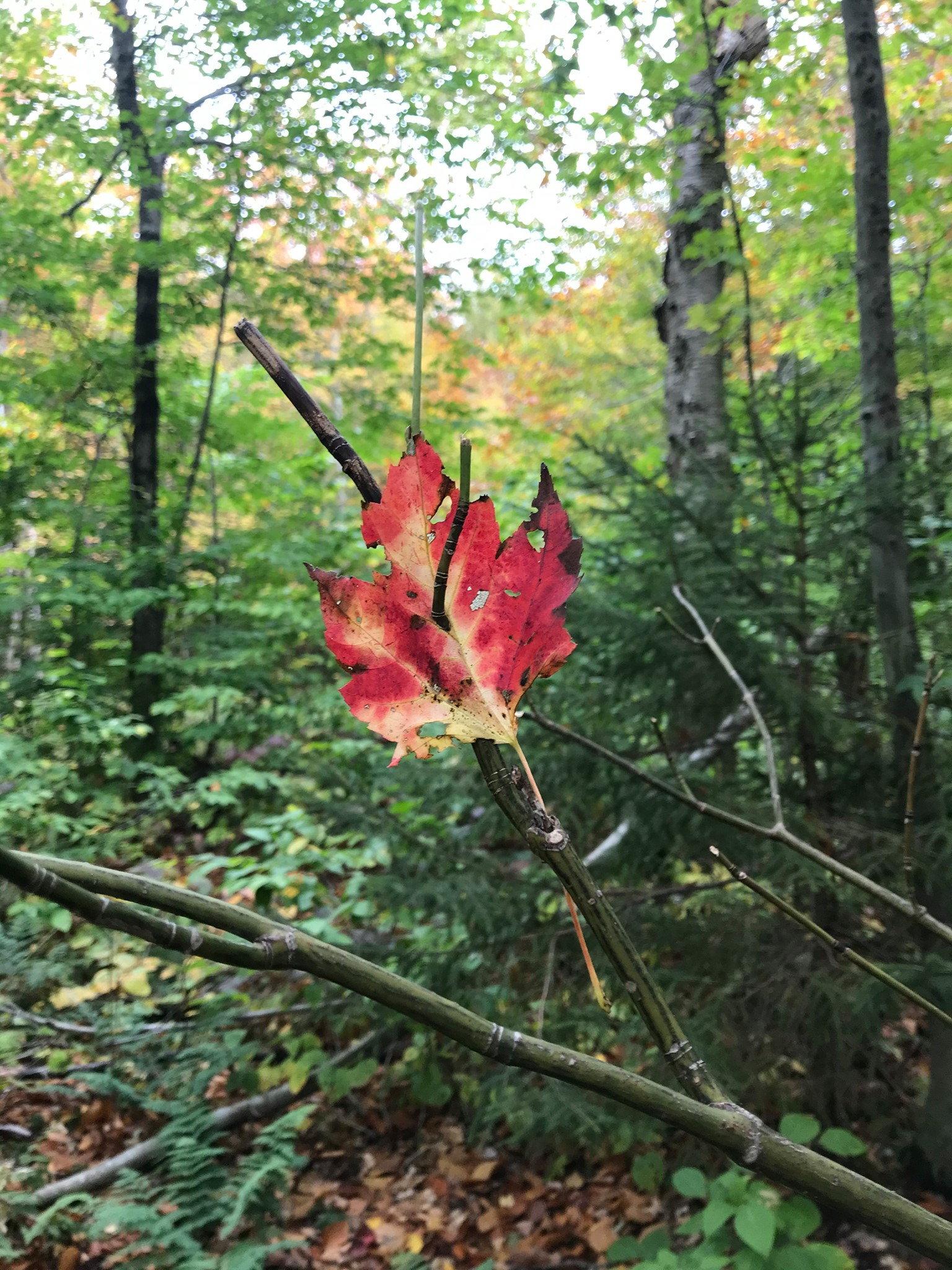 Contest Entry #19 - Rochester Red - Single red and yellow leaf on a stick framed by a mostly green forest