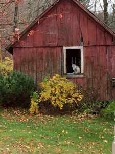 Contest Entry #6 - Cat in the Window - Cat perched in the open window of a red barn with bushes in front