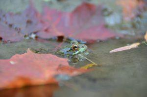 Entry #1 - Leaf Peeper - Close-up of Frog in Leaf Covered Pond