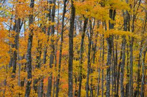 Contest Entry #20 - Otono - Close up of Mostly Sugar Maple forest in Peak Foliage