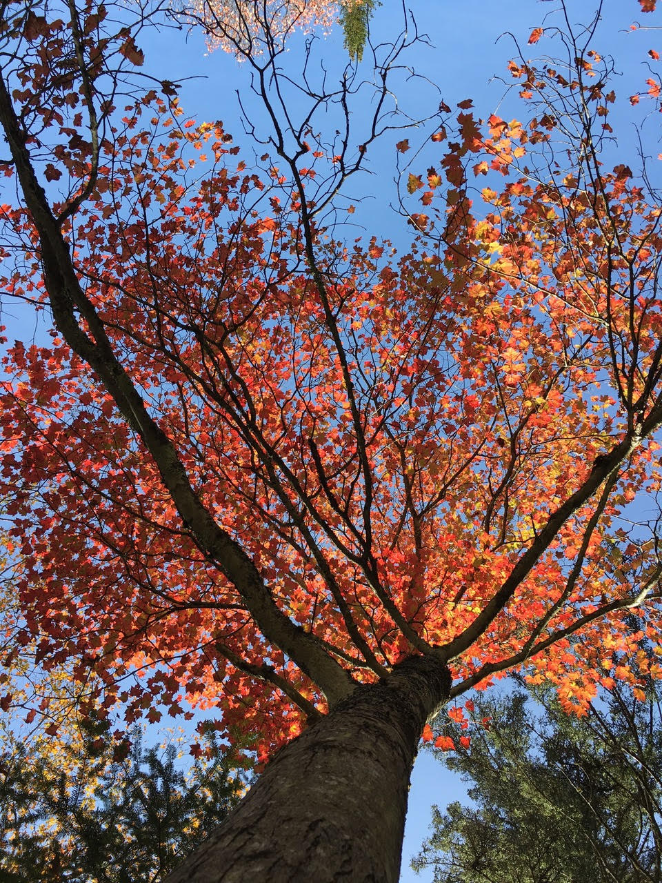 Contest Entry #25 - Red Maple Alight with Autumn - Looking up into a bright red maple tree with blue sky behind it